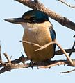 Kingfisher male (7225731550).jpg