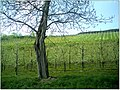 Kirschblüte - panoramio (13).jpg