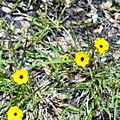 Kissimmee Prairie Preserve State Park - Yellow Wildflowers.jpg