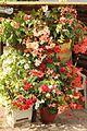 Knollenbegonien (Begonia × tuberhybrida) (9856385234).jpg