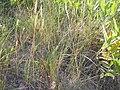 Koeleria macrantha (3750489527).jpg