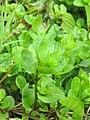 Korina 2012-08-30 Mimulus guttatus 2.jpg
