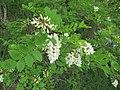 Korina 2014-05-16 Robinia pseudoacacia 2.jpg
