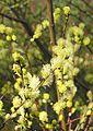 Kriech-Weide (Salix repens).jpg