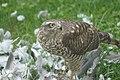 Krogulec jedzący gołębia 1.jpg