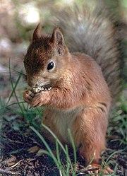 Veverka pojídající ořech