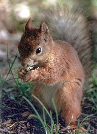 Social learning in animals - Red squirrels are more successful at opening nuts after watching an experienced individual.