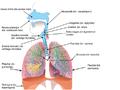 Kvėpavimo sistema.png