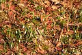 Kvetoucí sněženky v PP Sněženky ve Vysokém lese 08.jpg