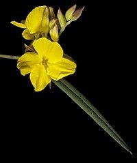 Labichea punctata - Flickr - Kevin Thiele.jpg
