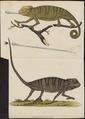Lacerta chamaeleon - 1700-1880 - Print - Iconographia Zoologica - Special Collections University of Amsterdam - UBA01 IZ12300005.tif