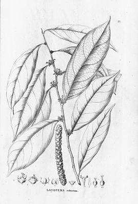 Lacistema robustum, Illustration.