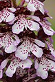 Lady Orchid - Orchis purpurea - panoramio (17).jpg