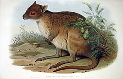 Gould lithograph illustration of a spectacled hare-wallaby
