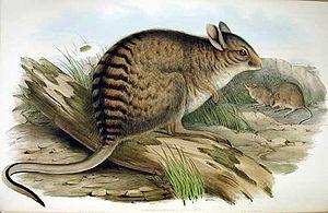 Banded hare-wallaby - Image: Lagorchestes fasciatus Gould