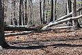 Lainzer Tiergarten Wald 01.jpg