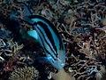 Lamarck's Angelfish female (Genicanthus lamarck) (32392154015).jpg