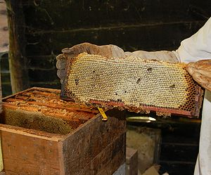 Langstroth hive - A frame from a Langstroth hive (seen behind)