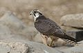 Lanner falcon, Falco biarmicus, at Kgalagadi Transfrontier Park, Northern Cape, South Africa (34415577132).jpg