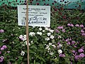 Lantana from Lalbagh flower show Aug 2013 8037.JPG