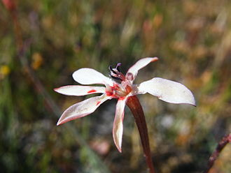 Lapeirousia - Lapeirousia anceps flower
