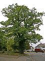 Large Oak Tree on corner of Links Side, Enfield - geograph.org.uk - 996260.jpg