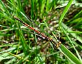 Large Red Damselfly. Pyrrhosoma nymphula. - Flickr - gailhampshire (2).jpg