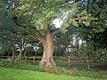 Large Tree, Old School Gardens, Llanteg - geograph.org.uk - 1048909.jpg