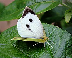 Large White Butterfly (42054744).jpeg