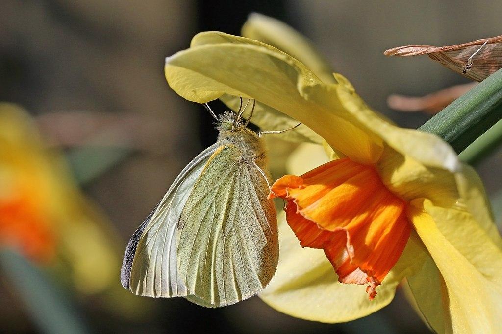 Large white (Pieris brassicae) underside.jpg
