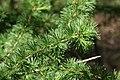 Larix decidua 29zz.jpg