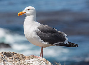 Western gull - Image: Larus occidentalis (Western Gull), Point Lobos, CA, US May 2013