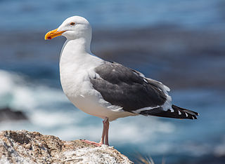 Western gull Species of bird