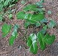 Laserpitium krapfii subsp gaudinii RF.jpg