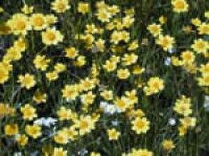 Lasthenia conjugens - Image: Lasthenia conjugens