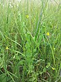 Lathyrus aphaca sl9.jpg
