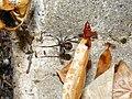 Latrodectus mactans 6.jpg