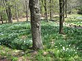 Laurel Ridge Foundation Narcissus Plantings - IMG 6455.JPG