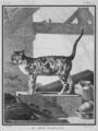 Le Chat d-Espagne - Spanish Cat- Felis silvestris catus - Gallica - ark 12148-btv1b2300253d-f5.png