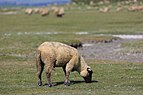Le Mont-Saint-Michel France Salt-Meadow-Sheeps-02.jpg