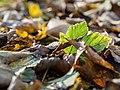 Leaf litter (11001982965).jpg