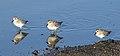 Least sandpiper, Calidris minutilla, at Alviso Marina County Park, Santa Clara, California, USA (30704109090).jpg