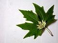 Leaves in iran برگ گلها و گیاهان ایرانی 07.jpg