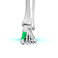 Left First metatarsal bone01.png