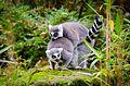 Lemur (30962918493).jpg