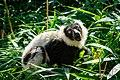 Lemur (36014741474).jpg