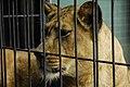 Leonessa at Berlin zoo-2 (2484417338).jpg