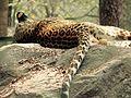 Leopard ben 01.jpg