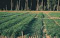 Les Plantes Cultivades. Cereals. Imatge 139.jpg
