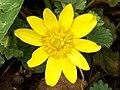 Lesser Celandine (Ranunculus ficaria) (4462392128).jpg